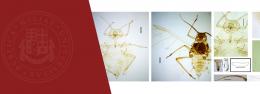 EMPLOYEE OF ILIAUNI INSTITUTE OF ZOOLOGY DESCRIBES NEW BUG SPECIES