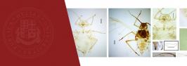 ილიაუნის ზოოლოგიის ინსტიტუტის თანამშრომელმა ბუგრის ახალი სახეობა აღწერა